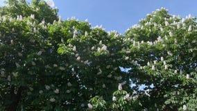 Flowers of chestnut trees. Horse chestnut trees white blooming flowers stock video