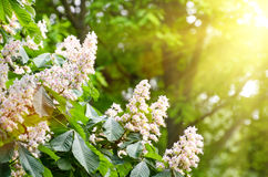 Flowers of chestnut trees in spring in the park Stock Image