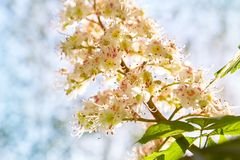 Flowers of chestnut trees in spring in the park. royalty free stock image