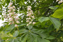 Flowers of chestnut Stock Image