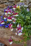 Flowers in Chianale - Piemonte. Italy royalty free stock photos