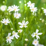 Flowers chickweed Royalty Free Stock Photo