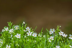 Flowers chickweed Stock Images