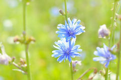 Flowers chicory. Royalty Free Stock Photos
