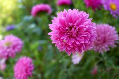 Flowers of china asters and green crab spider royalty free stock photography