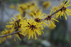 Flowers of Chinese witch hazel Stock Images