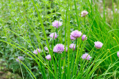 Flowers of chives Stock Photography