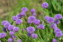Flowers of chives Stock Images