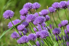 Flowers of chives Royalty Free Stock Photos