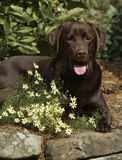 Flowers and Chocolate. Chocolate Lab with yellow flowers Stock Images