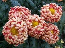 Flowers of chrysanthemums Royalty Free Stock Photos