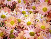 Flowers of chrysanthemums Royalty Free Stock Image