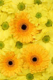 Flowers Chrysanthemums background in spring, birthday or mothers Stock Photos