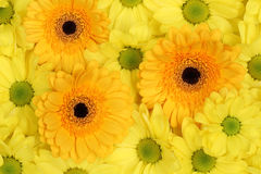 Flowers Chrysanthemums background in spring or mothers day Stock Images