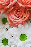 Flowers - chrysanthemums and roses. Flowers close up - chrysanthemums and pink roses Royalty Free Stock Images