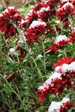Flowers. Chrysanthemums in the snow. Chrysanthemums. Red chrysanthemums under snow stock photo