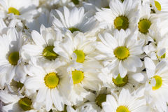 Flowers Chrysanthemums white closeup Royalty Free Stock Photography