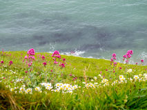 Flowers at cliff at Durdle door Stock Image