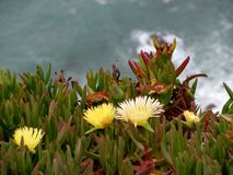 Flowers on the cliffs of Cabo da Roca Cape Roca in Sintra. The most western point of Europe. Flowers on the cliffs of Cabo da Roca Cape Roca in Sintra. The most royalty free stock image