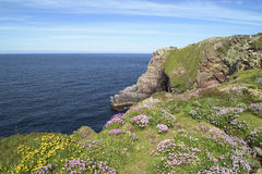 Flowers on cliffs in Ireland Royalty Free Stock Photo