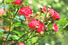 Flowers of climbing roses Stock Photo