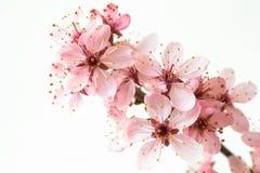 Flowers. A close-up of beautiful pink Prunus cerasifera Stock Photo