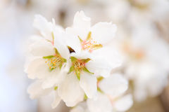 Flowers closeup. Almond tree blooming, selective focus Stock Photography