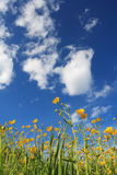 Flowers and clouds. Yellow flowers and blue sky Royalty Free Stock Photos