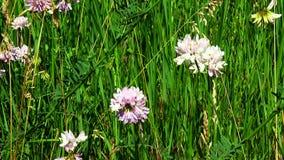 Flowers clover stock video