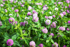 Flowers clover on a meadow stock image