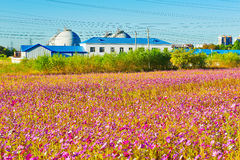 The flowers in clusters and buildings Royalty Free Stock Photo