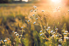 Flowers and plants on a background sunset. Flowers with cobwebs and plants on a background sunset. Shallow depth of field stock photos