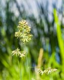 Flowers on Cock`s-foot or Cat grass, Dactylis glomerata, closeup with green bokeh background, selective focus Stock Photography