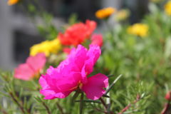 Flowers. Colorful flowers on balcony: pink, orange, red, yellow, green. Nature and it's beauty on sunny day Stock Photo