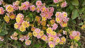 Flowers. Colorful flowers at the side of the road, Crete Royalty Free Stock Image