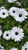 Flowers. Colorful flowers at the side of the road, Crete Royalty Free Stock Photos