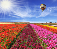 Flowers of colors - red, claret and pink Stock Image