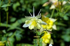 Flowers of the Columbine, Aquilegia, blossom in early summer, Bavaria, Germany, Europe stock photo