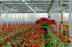 Flowers in a commercial greenhouse Stock Photo