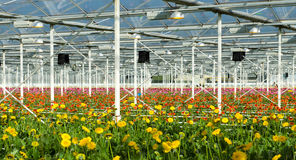 Flowers in a commercial greenhouse Royalty Free Stock Photography