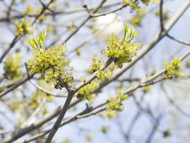 Flowers Common Ash, Fraxinus, excelsior, on branch with bokeh background macro, shallow DOF, selective focus Royalty Free Stock Image