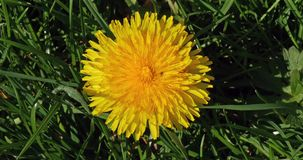 Flowers of Common Dandelion, taraxacum officinale, Normandy,. Real Time 4K stock video footage