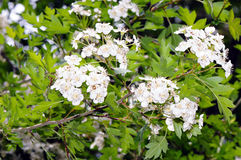 Flowers of common hawthorn (Crataegus monogyna). Flowers and foliage of common hawthorn (Crataegus monogyna Royalty Free Stock Photos