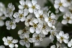 Flowers of a common hawthorn Stock Photography