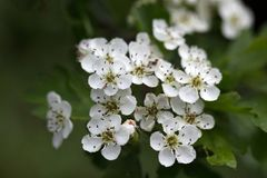 Flowers of a common hawthorn Royalty Free Stock Photography