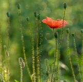 Flowers common poppy stock image