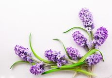 Lilac hyacinths on white background Royalty Free Stock Images