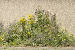 Flowers and concrete wall. Yellow and purple wildflowers grow in the narrow space between a brick pavement and a concrete wall royalty free stock photos