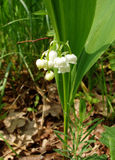 Flowers of convallaria. Delicate flowers of convallaria in the spring Royalty Free Stock Image