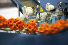 Flowers conveyor Stock Images